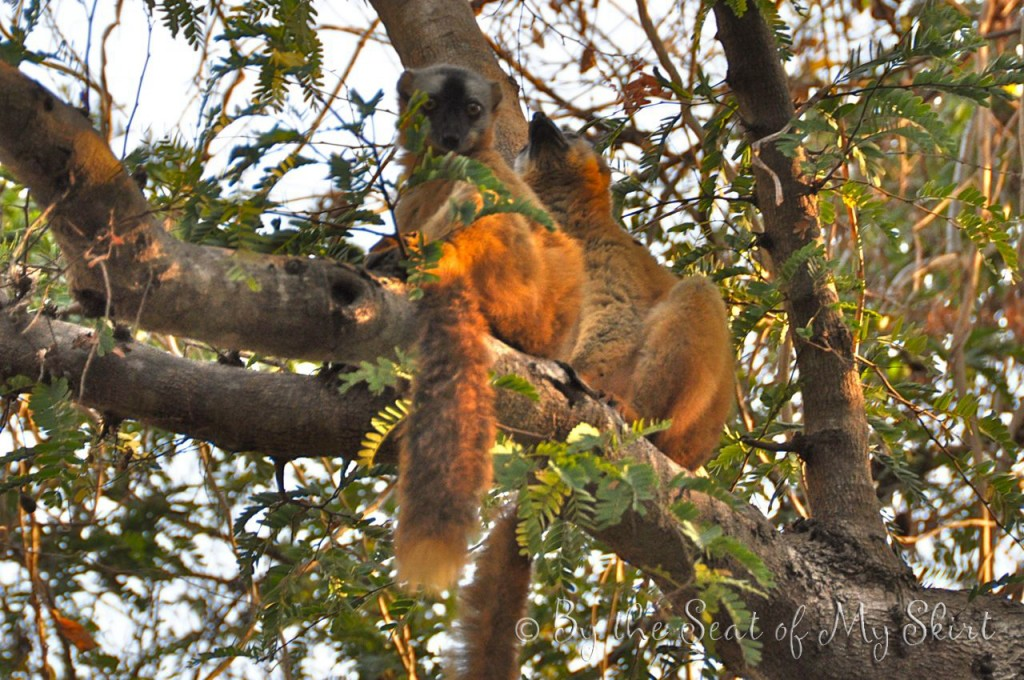 Red-fronted / brown lemurs